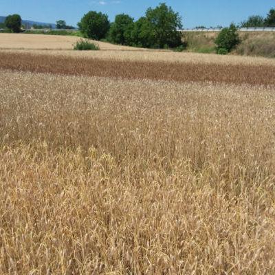 Du premier plan au dernier plan : blé miracle, blé de Galice, blé de Perse, et blé Kamout © Ferme Moyses