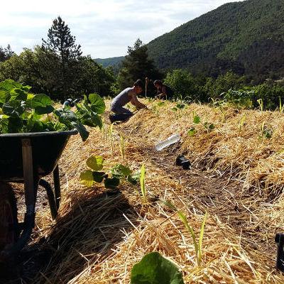 Plantations de courges © Jardins Nourriciers