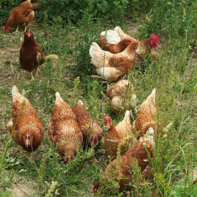 Les poules de la Vergne
